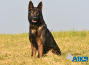 A1K9 Family Protection Dog Athos Sit