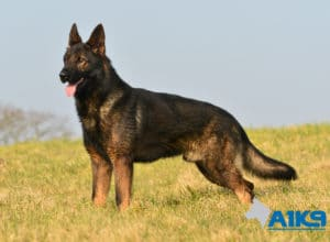 A1K9 Family Protection Dog Athos Stand