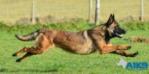 A1K9 Family Protection Dog DJ Run
