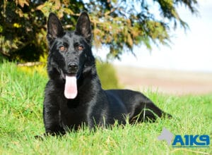 A1K9 Family Protection Dog Donna Down