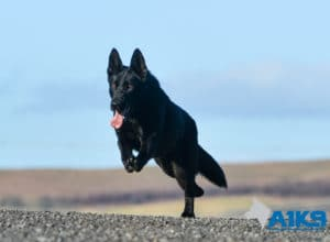 A1K9 Family Protection Dog Donna Run