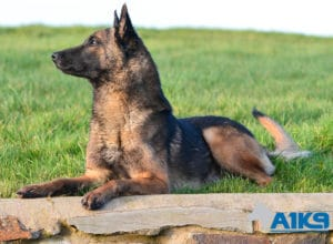 A1K9 Family Protection Dog Fritz Down
