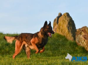 A1K9 Family Protection Dog Fritz Run
