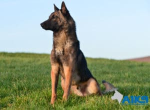 A1K9 Family Protection Dog Fritz Sit
