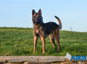 A1K9 Family Protection Dog Fritz Stand