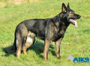 A1K9 Family Protection Dog Indie Stand