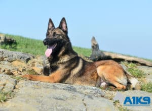 A1K9 Family Protection Dog Marty Down