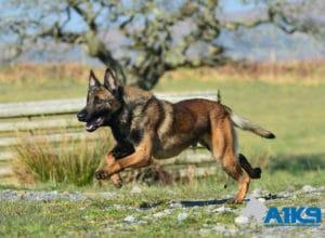 A1K9 Family Protection Dog Marty Run