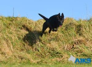 A1K9 Family Protection Dog Moon Run