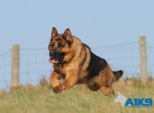 A1K9 Family Protection Dog Rocky Run