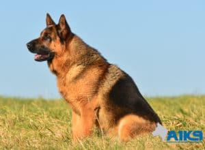 A1K9 Family Protection Dog Rocky Sit