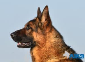 A1K9 Family Protection Dog Vic Head
