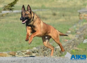 A1K9 Family Protection Dog Victor Run