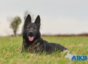 A1K9 Family Protection Dog Akira Down