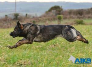 A1K9 Family Protection Dog Akira Run