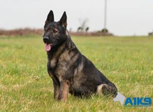 A1K9 Family Protection Dog Akira Sit