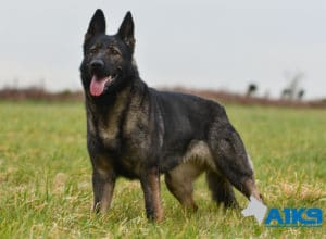 A1K9 Family Protection Dog Akira Stand