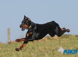 A1K9 Family Protection Dog Hera Run