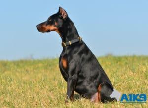 A1K9 Family Protection Dog Hera Sit