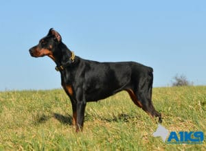 A1K9 Family Protection Dog Hera Stand